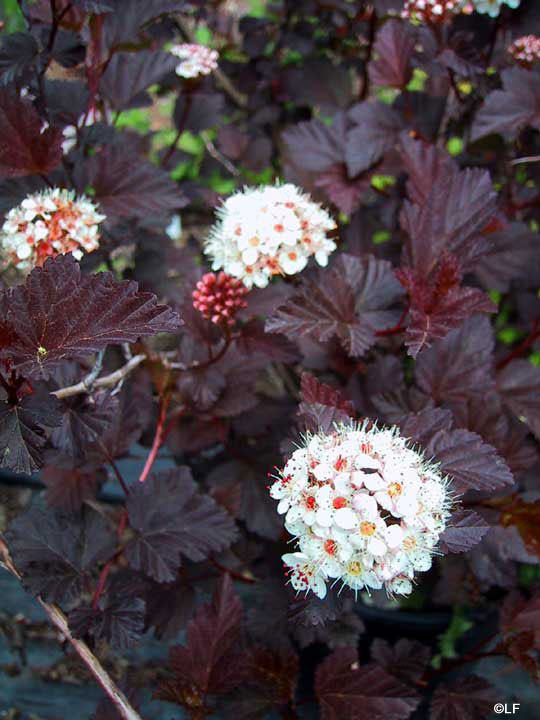 Пузыреплодник Physocarpus opulifolius Red Baron